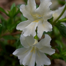 Mimulus  'Phil's White' monkeyflower
