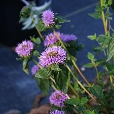 Monardella villosa ssp. franciscana 'Russian River' coyote mint