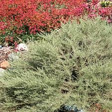 Artemisia californica 'Montara' California sagebrush