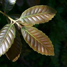 Notholithocarpus densiflorus var. densiflorus  tanoak