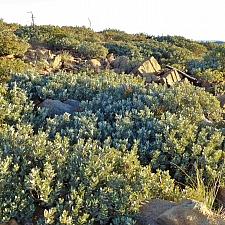 Notholithocarpus densiflorus var. echinoides  dwarf tanoak