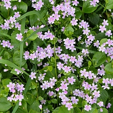 Claytonia sibirica  candy stripe, Indian lettuce