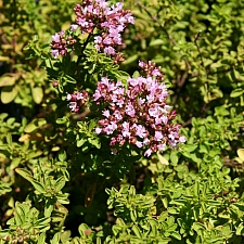 Origanum majorana 'Betty Rollins' dwarf culinary oregano