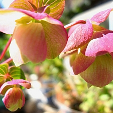 Origanum  'Kent Beauty' ornamental oregano