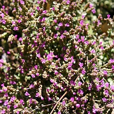 Origanum microphyllum  small leaved oregano