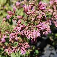 Origanum  'Santa Cruz' ornamental oregano