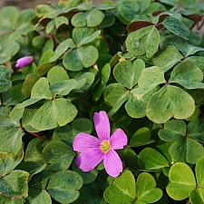 Oxalis oregana 'American Beauty' redwood sorrel