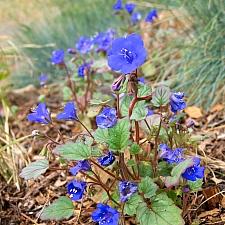 Phacelia campanularia  desert bluebells