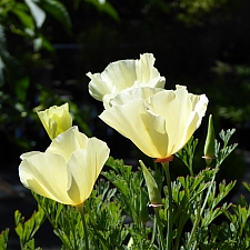 Eschscholzia californica - cream colored flowers  cream colored California poppy