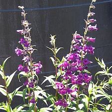 Penstemon  'Enor' border penstemon