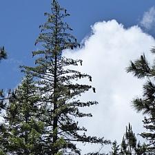 Pinus lambertiana  sugar pine