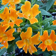 Mimulus   'Jelly Bean Orange' monkeyflower