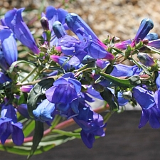 Penstemon heterophyllus 'Blue Springs' foothill penstemon