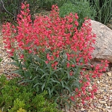 Penstemon barbatus 'Coral Baby' beard lip Penstemon