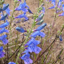 Penstemon heterophyllus  foothill penstemon