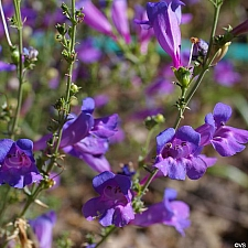 Penstemon heterophyllus 'Margarita BOP' foothill penstemon