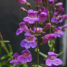 Penstemon spectabilis  royal penstemon