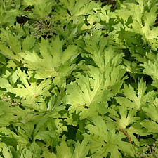 Petasites palmatus 'Golden Palms' golden western coltsfoot