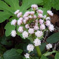 Petasites palmatus  western coltsfoot