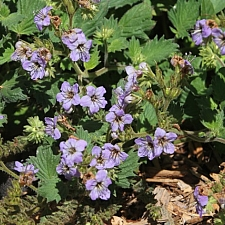 Phacelia bolanderi  woodland phacelia