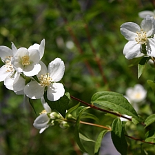 Philadelphus  'Desert Snow' mock orange