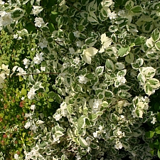 Philadelphus coronarius 'Variegatus' variegated sweet mock orange