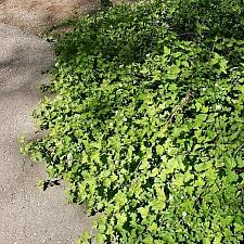 Physocarpus capitatus 'Tilden Park' prostrate western ninebark