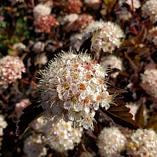 Physocarpus opulifolius 'Coppertina' bronze ninebark