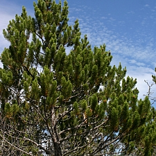 Pinus contorta ssp. bolanderi  pygmy pine