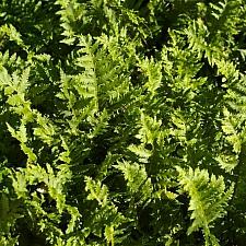 Polypodium californicum 'Sarah Lyman' California polypody