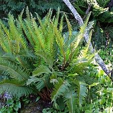 Polystichum munitum  western sword fern