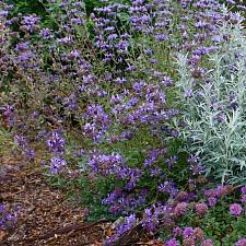 Salvia clevelandii 'Pozo Blue' sage