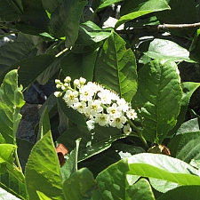 Prunus virginiana v. demissa  chokecherry