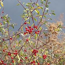 Prunus emarginata  bitter cherry