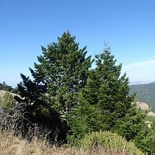Pseudotsuga menziesii  Douglas fir