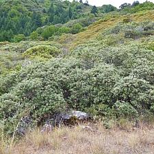 Quercus durata  leather oak