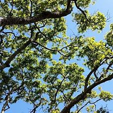Quercus garryana var. garryana  Garry oak, Oregon white oak