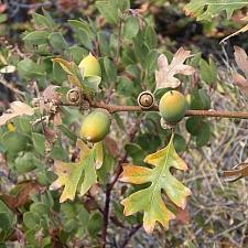 Quercus garryana var. breweri  Brewer's oak
