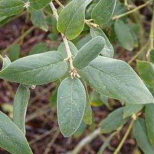 Rhamnus (Frangula) californica ssp. tomentella  serpentine coffeeberry