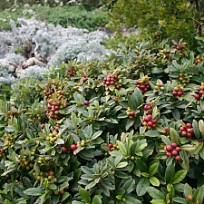 Rhamnus (Frangula) californica 'Seaview' dwarf California coffeeberry