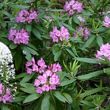 Rhododendron macrophyllum  California rose-bay