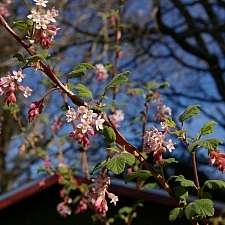Ribes malvaceum  chaparral currant