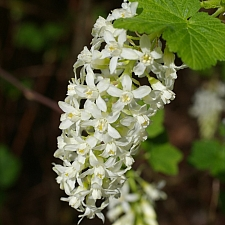 Ribes sanguineum v. sanguineum  'White Icicle' white flowering currant