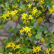 Ribes aureum  golden currant