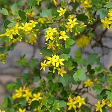 Ribes aureum  golden currant
