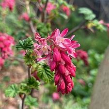 Ribes sanguineum v. sanguineum  'King Edward VII' red flowering currant