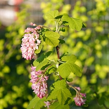 Ribes sanguineum v. sanguineum 'Brocklebankii' golden-leaved red flowering currant