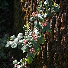 Ribes viburnifolium  Catalina perfume