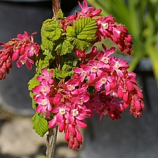 Ribes sanguineum v. sanguineum 'Barrie Coate' red flowering currant
