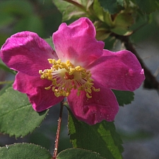 Rosa gymnocarpa  wood rose